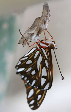 A newly hatched butterfly dries its wings out while hanging on upside down by a chrysalis photo