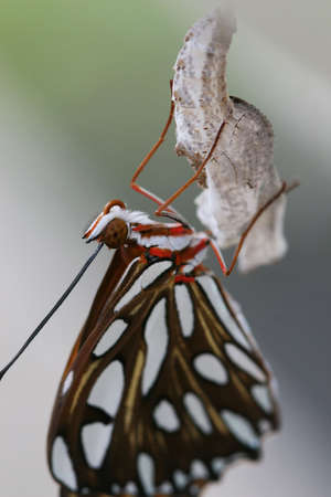 A newly hatched butterfly dries its wings out while hanging on upside down by its chrysalis