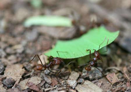 atta: Foglia Cutter Ants portare un pezzo di foglia di ritornare al loro nido nella foresta pluviale