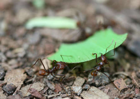 acromyrmex: Leaf Cutter Ants carry a piece of leaf back to their nest in the rain forest Stock Photo