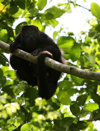 A howler monkey rest in a tree in the rainforest