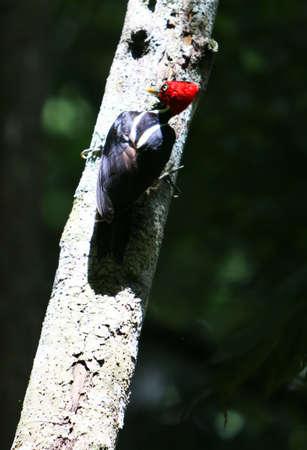 p�jaro carpintero: Un carpintero roja encabezada Picos a un tronco del �rbol