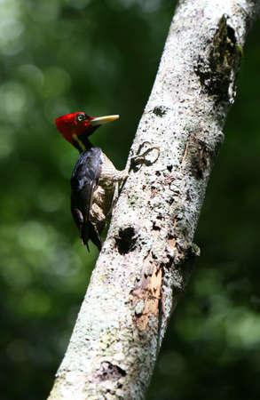 p�jaro carpintero: Un carpintero redheaded se prepara para construir un nido en un �rbol  Foto de archivo