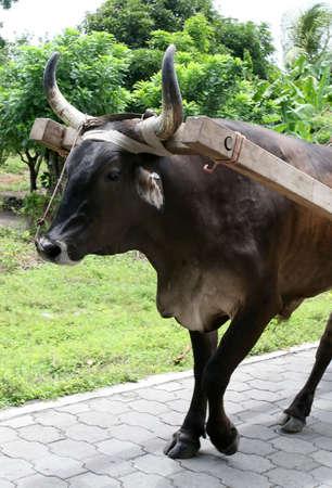 buey: Un buey es hitched y tirando de un carro en una calle de ladrillos en Nicaragua