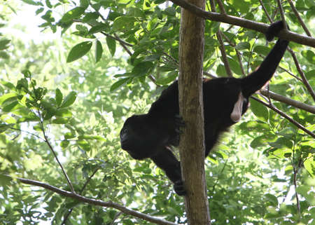 howler: A howler monkey preparing to leap