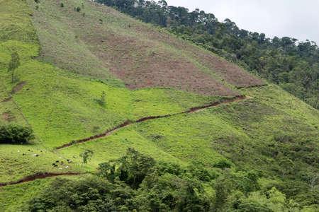 Cattle graze on the rolling hillsides of Honduras