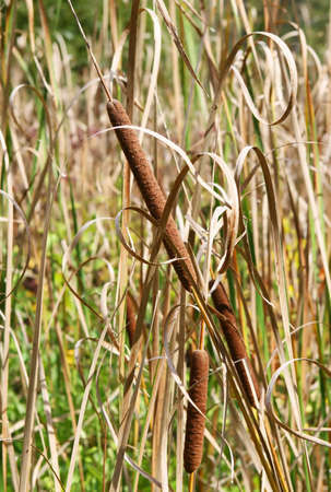 bullrush: Cattail plants growing in Western New York