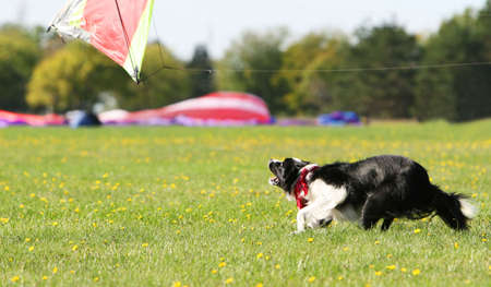 A dog hunts a fly kite in a large grass field Stock Photo