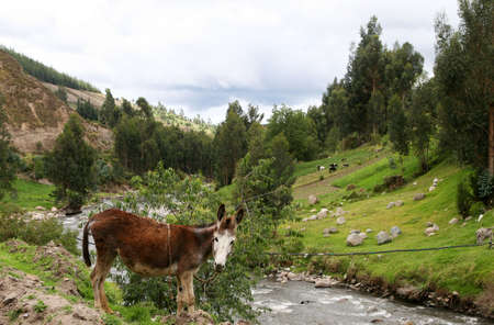 A donkey in the highlands of Ecuador rests on the side of a river Stock Photo