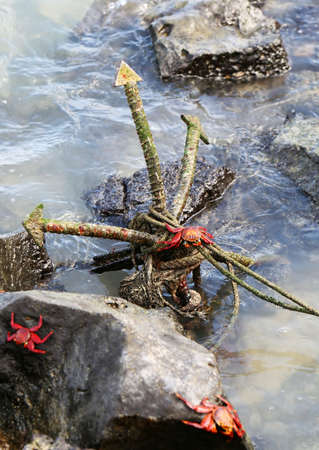 Sally Lightfoot Crabs play on an old anchor on the shores of the Galapagos Islands photo