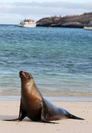 pinniped: A young Sea Lion rests on the warm sands of Santa Fe island, Ecuador