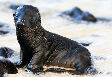 pinniped: This adorable  Sea Lion is playing on the shore of Santa Fe island in the Galapagos islands Stock Photo