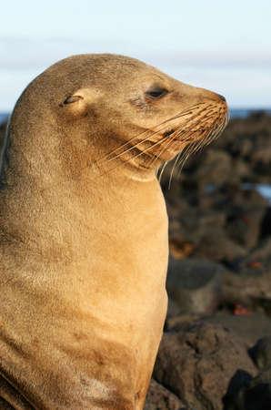 pinniped: A Sea Lion in Profile Stock Photo
