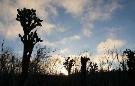 Beautiful Prickly Pear Cactus silhouette a blue sky at sunset photo