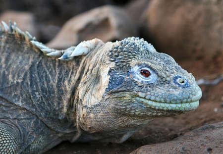 hued: A beautiful blue hued marine Iguana in the Galapagos Islands Stock Photo