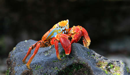 A colorful Sally Lightfoot crab on a volcanic rock photo