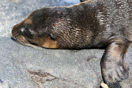 A young Sea Lion rests on the rocky shoreline of the Galapagos Islands Banco de Imagens