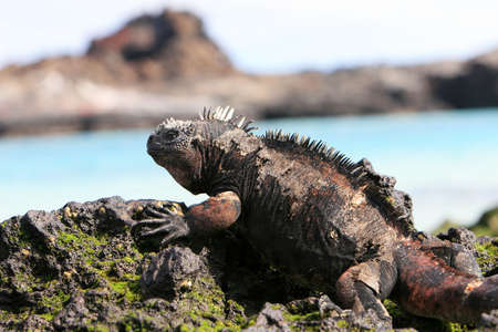 A marine iguana looks out over the blue waters from the volcanic rocks of the Galapagos islands Stockfoto