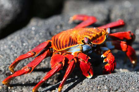 Macro shot of a colorful Sally Lightfoot Crab