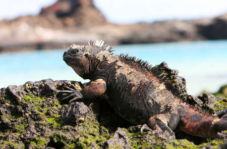 A marine iguana looks out over the blue waters from the volcanic rocks of the Galapagos islands photo
