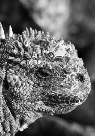 Close up head shot of a marine iguana in the galapagos islands photo