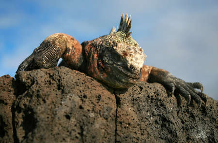 A Marine Iguana peers over a rock on the Galapagos Islands photo