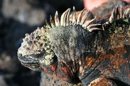 A beautiful marine iguana with his eye closed