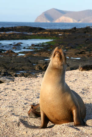 Sea Lion resting on the sandy beach of the Galapagos Islands photo