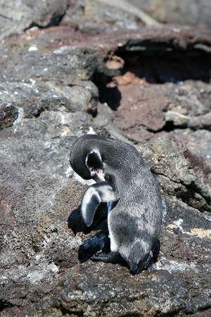 birdwatching: A cute penguin grooms itself atop a rocky bluff