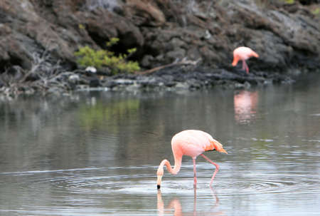 wade: Pink flamingos wade in a small brackish pond on the galapagos islands