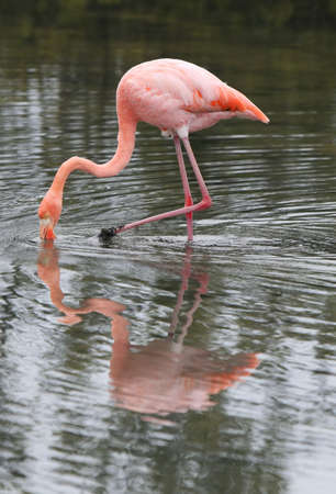 A beautiful pink flamingo searches for food in the water photo