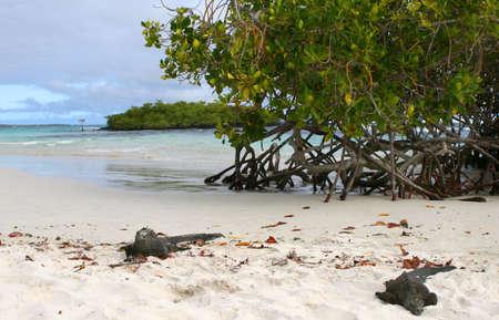 Marine iguanas lying on the sandy beach of the Galapagos Islands