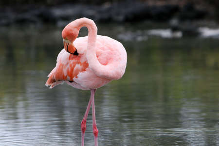 wading: A beautiful pink flamingo wading in the water of a brackish lake