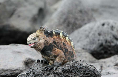 A beautiful marine iguana crawling on the volcanic rocks in the galapagos islands Stock Photo - 3559617