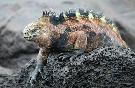 A Galapagos Marine Iguana perched on the volcanic rocks photo