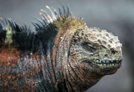 Beautiful Marine Iguana on the Galapagos islands photo