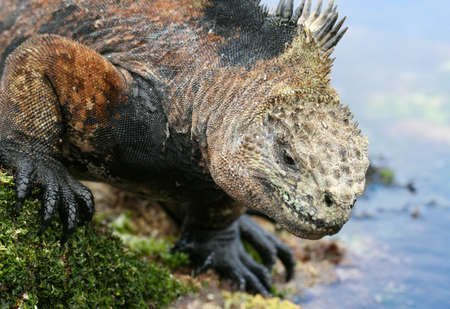 A marine iguana approaches the shores for swim Stock Photo