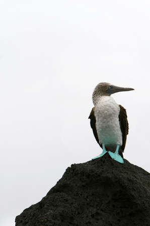 booby: A blue footed booby found in the Galapagos Islands of Ecuador Stock Photo