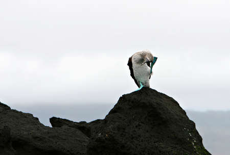 booby: A blue footed booby in the Galapagos islands