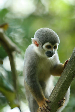 A cute and small titi monkey in South America Foto de archivo