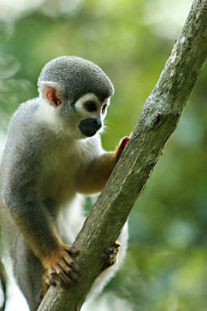 A cute and small titi monkey in South America photo