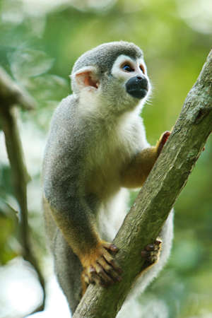 A cute and small titi monkey in South America Stock Photo