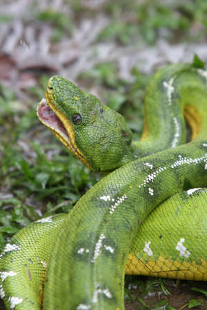 A beautiful Emerald Tree Boa in the Peruvian Amazon rainforest