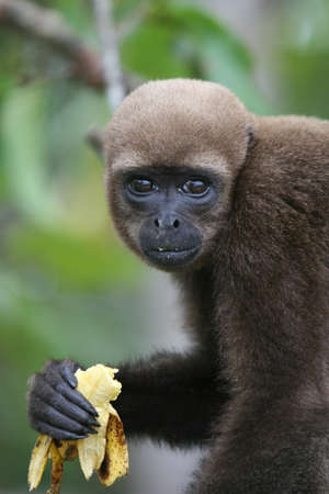 A Woolly Monkey in a tree along a river in the Amazon Rainforest photo