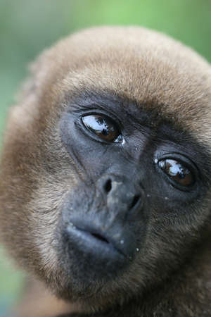 woolly: A Woolly Monkey in a tree along a river in the Amazon Rainforest