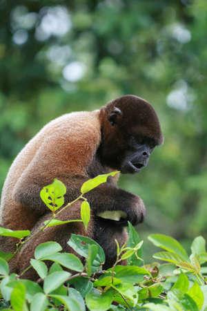 rio amazonas: Un mono lanudo en un árbol a lo largo de un río en la selva amazónica