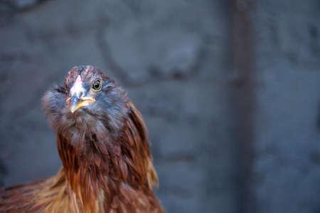 A beautiful bearded Americauna hen (11 weeks old) Stock Photo - 17708299