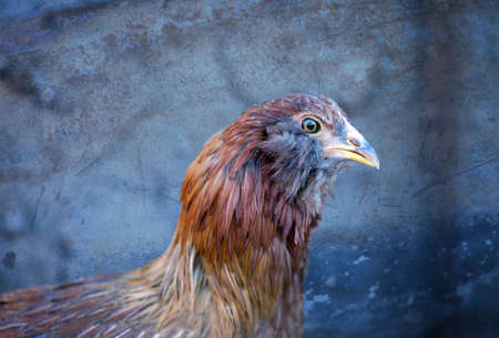 A young Americauna hen at 11 weeks of age Stock Photo - 17708220