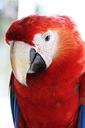 A Beautiful scarlet macaw shows off his large beak Banco de Imagens