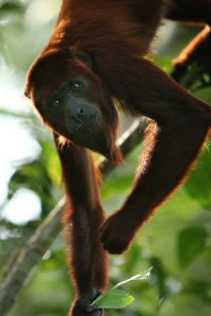 howler: A Howler Monkey in the jungle of Peru Stock Photo